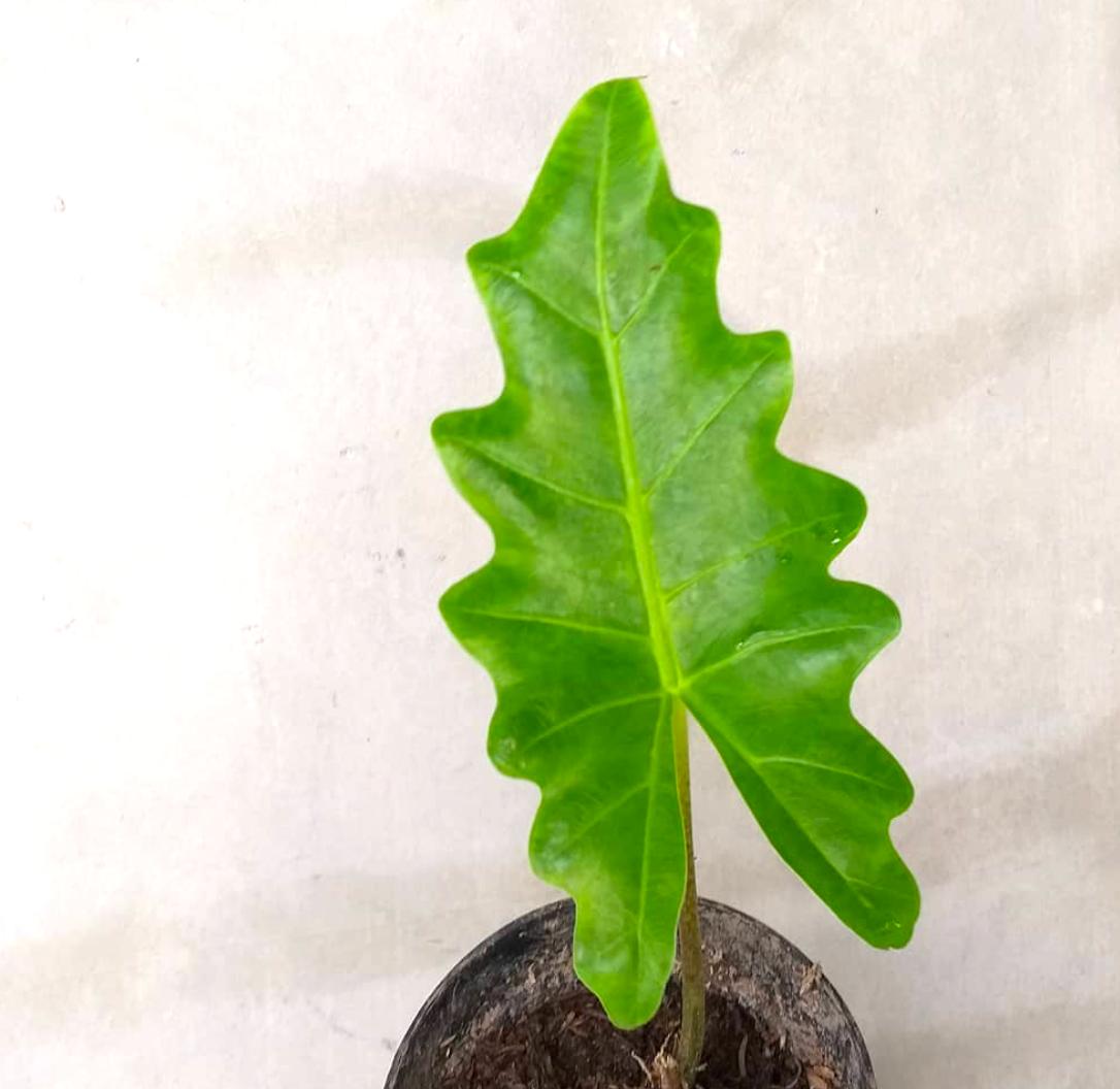 Alocasia Boa Plant Care Guide