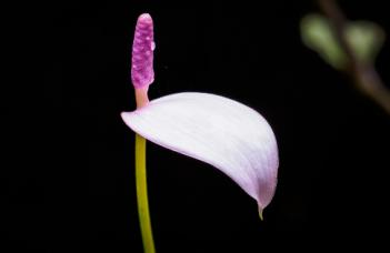 Anthurium Amnicola