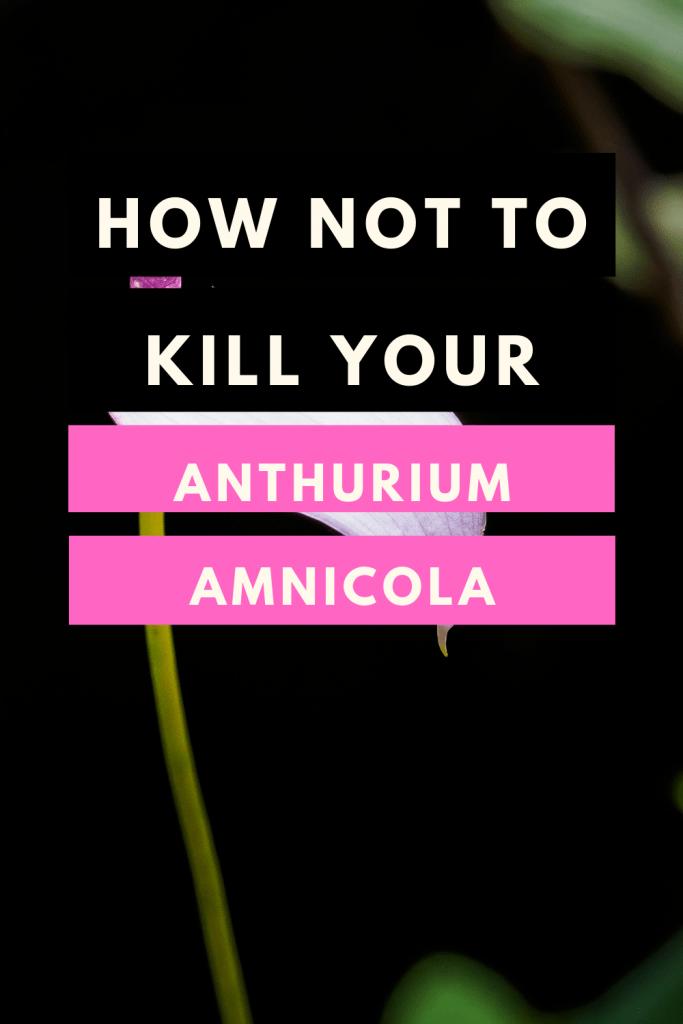 Anthurium Amnicola Care