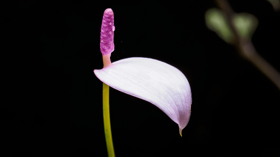 Anthurium Amnicola – A Complete Care Guide
