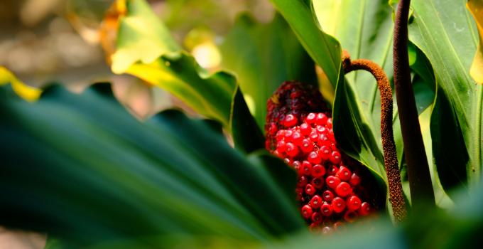 Anthurium Plowmanii Plant Care