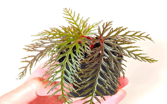 begoniabi pinnatifida