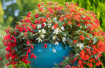 Begonia Boliviensis Care