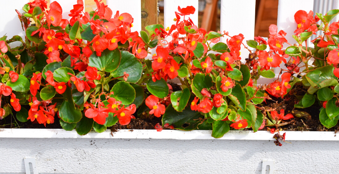 Begonia Cucullata Care: Here's What You Need to Know