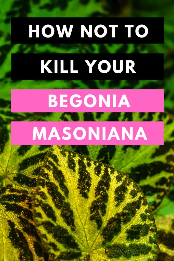 How not to Kill your Begonia Masoniana