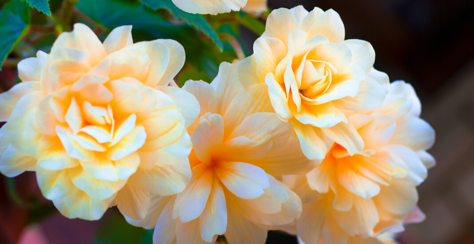 Begonia Odorata Care: Here's What You Need to Know