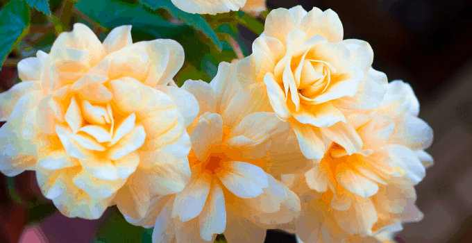 Begonia Odorata Plant Care