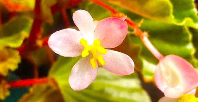 Begonia Sparreana Plant Care