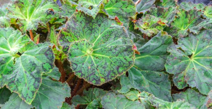 Begonia Thelmae Plant Care