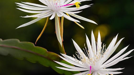 Epiphyllum Hookeri Care – Orchid Cactus Guide