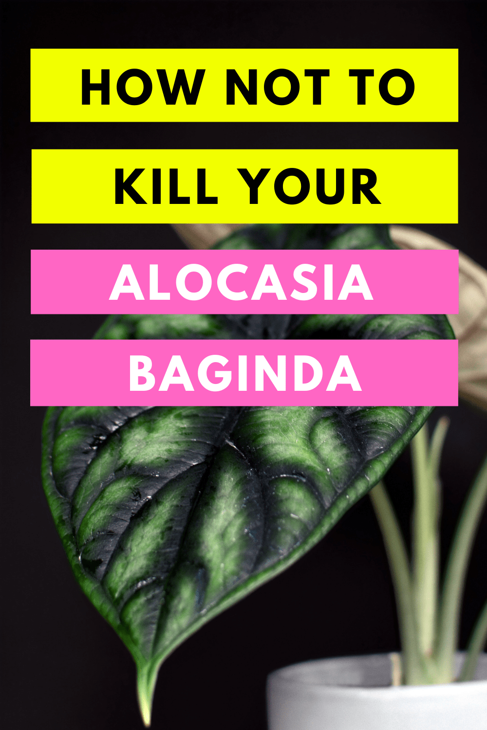 How Not To Kill Your Alocasia Baginda Dragon Scale
