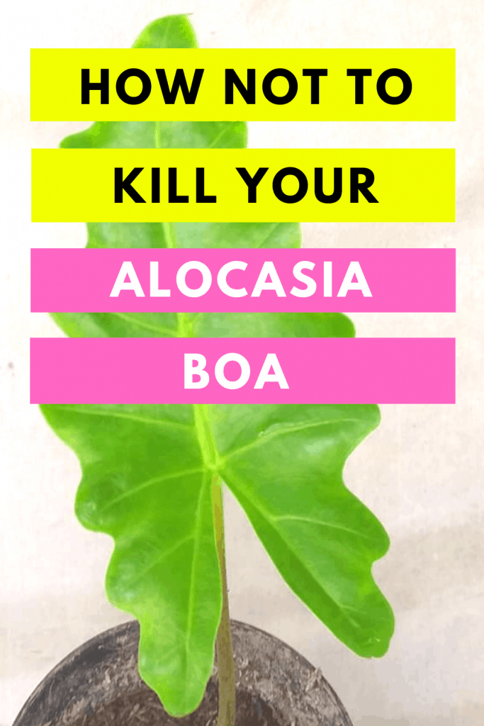 How Not To Kill Your Alocasia Boa Updated