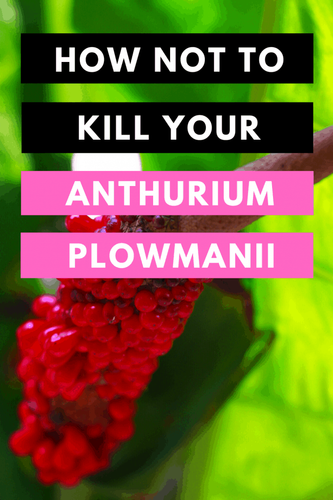 How Not To Kill Your Anthurium Plowmanii