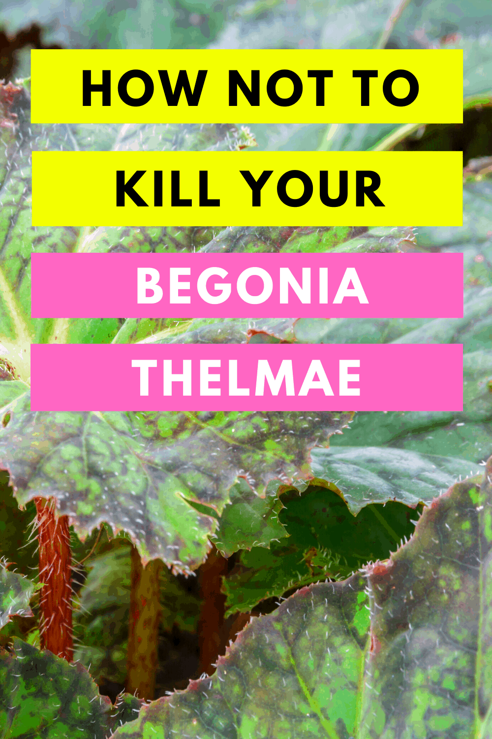 How Not To Kill Your Begonia Thelmae