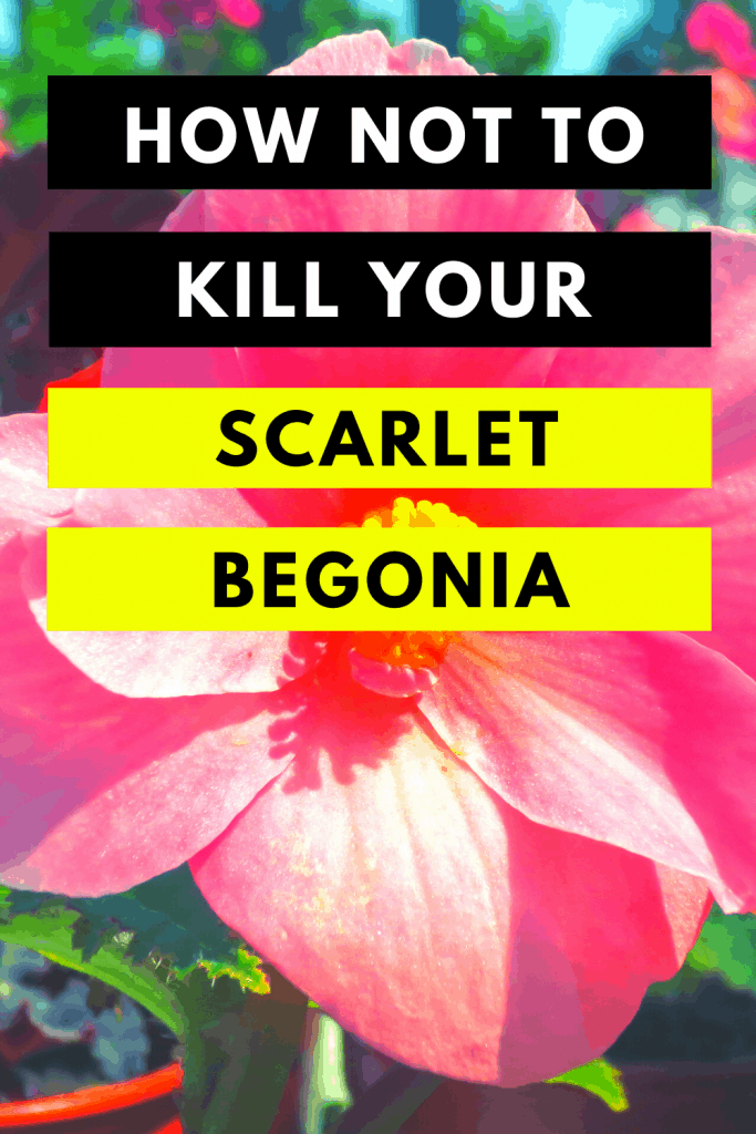 How Not To Kill Your Scarlet Begonia