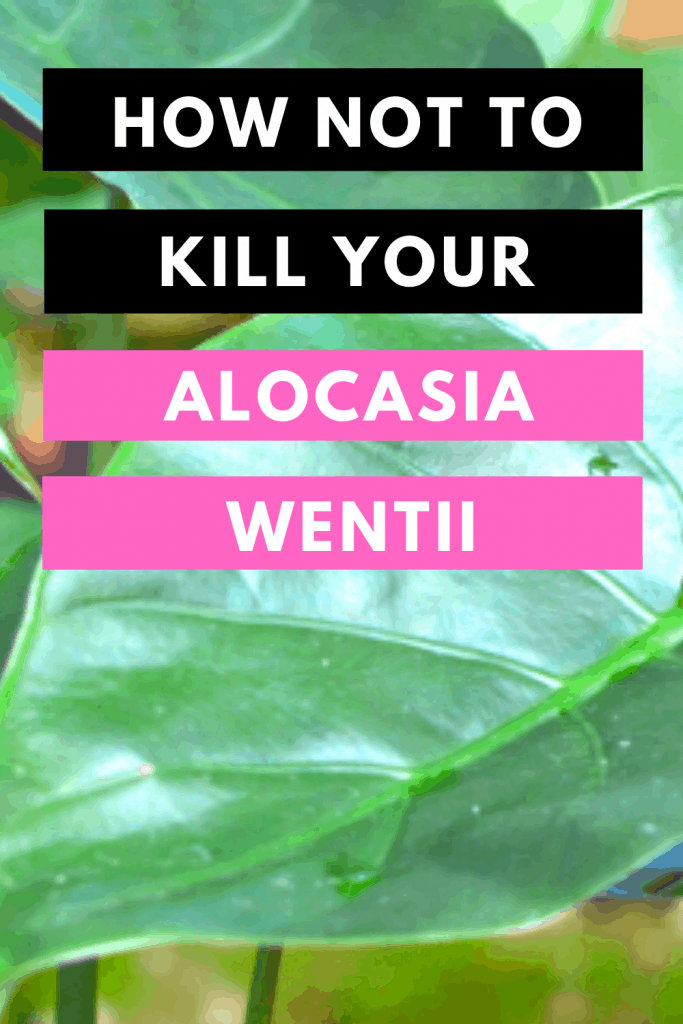 How Not To Kill your Alocasia Wentii