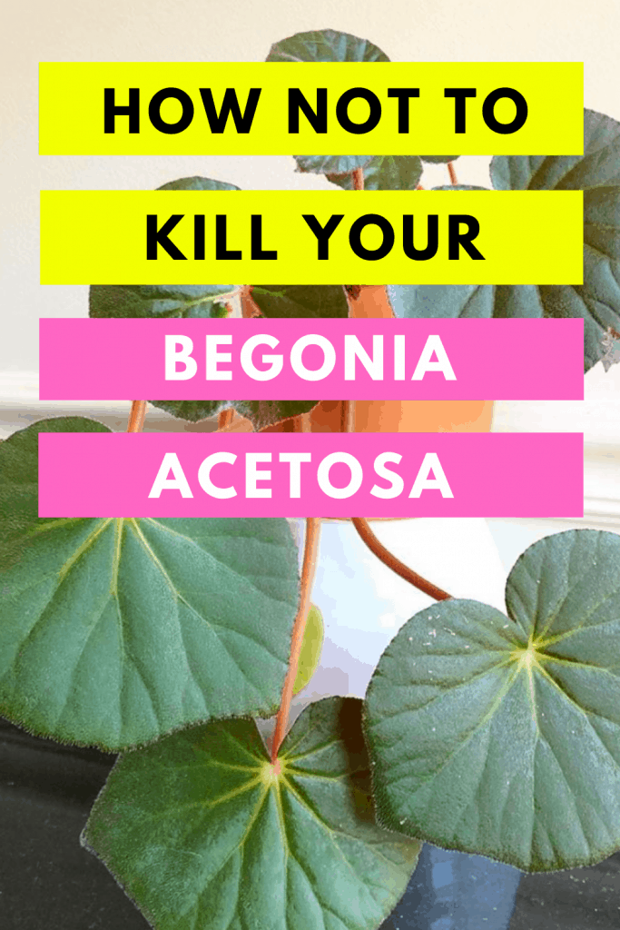 How Not To Kill your Begonia Acetosa