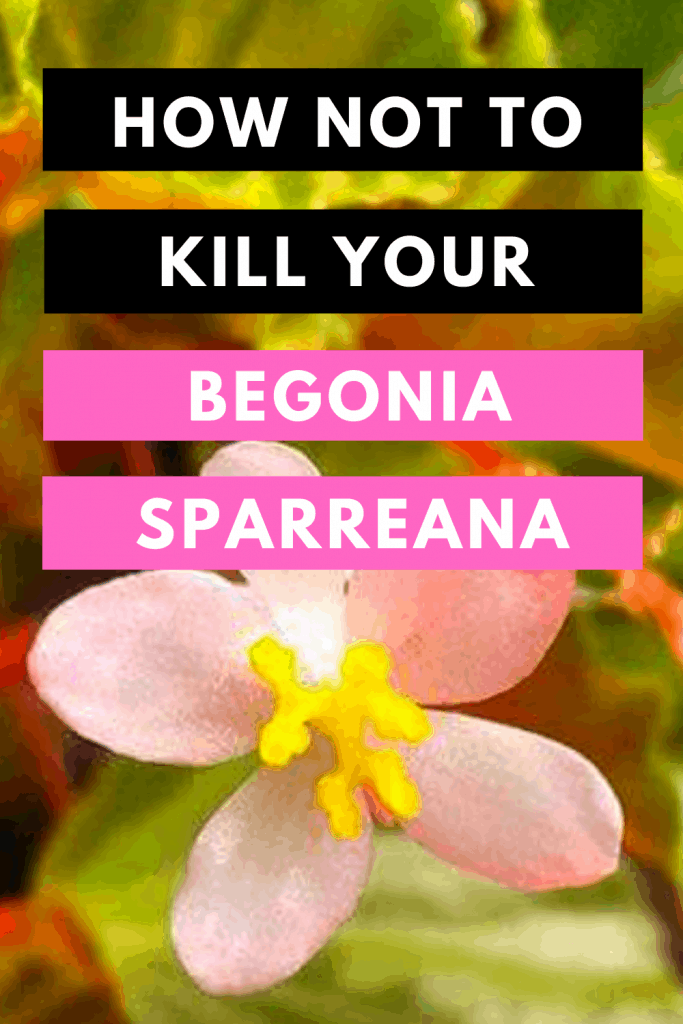 How Not To Kill your Begonia Sparreana