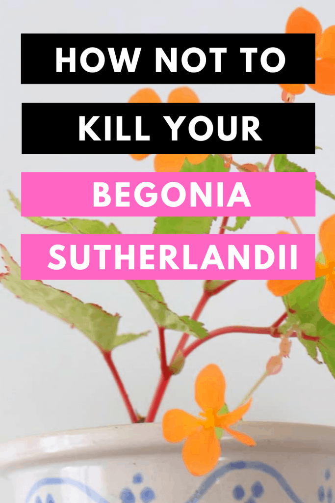 How Not To Kill your Begonia Sutherlandii