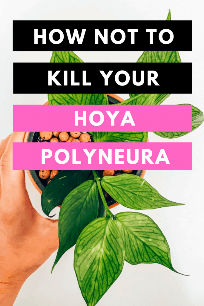 How Not To Kill your Hoya Polyneura