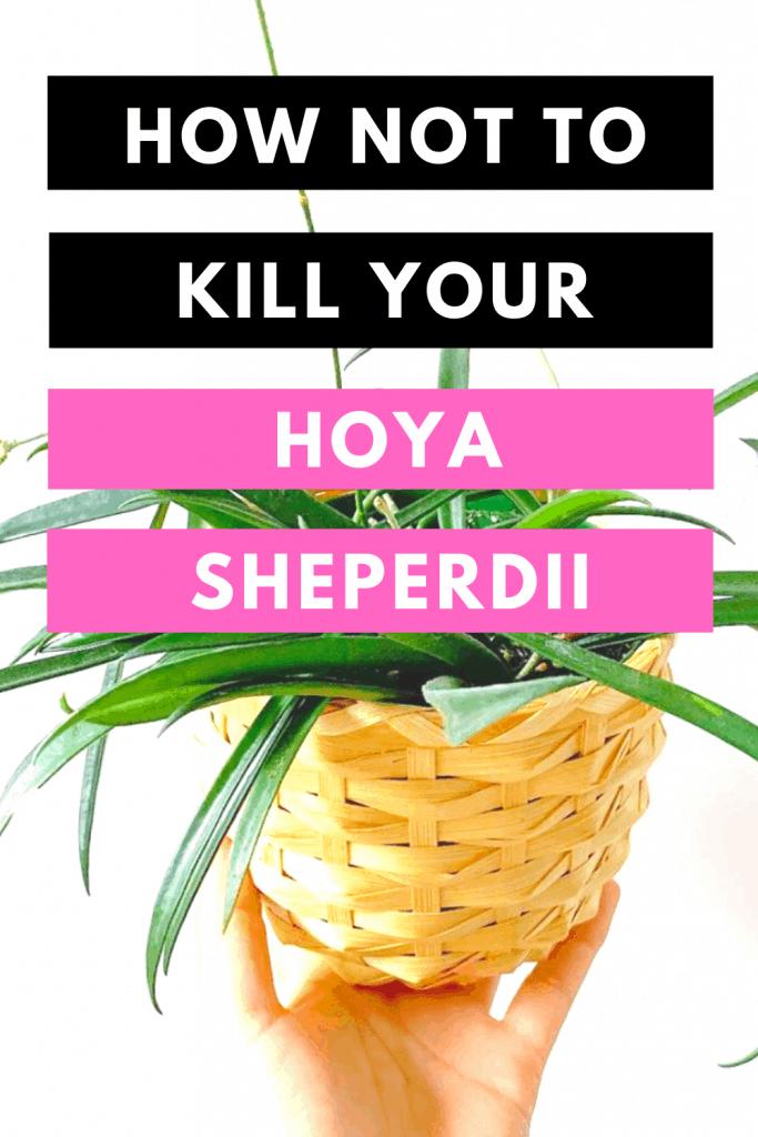 How Not To Kill your Hoya Sheperdii