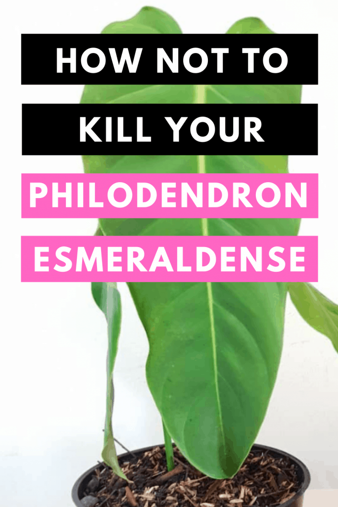 How Not To Kill your Philodendron Esmeraldense