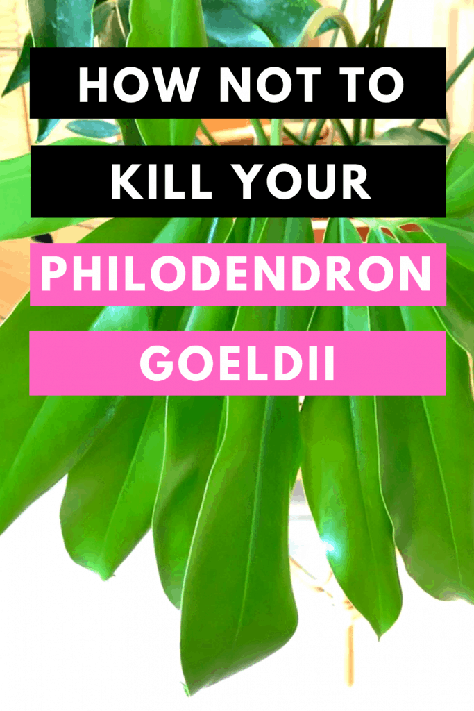 How Not To Kill your Philodendron Goeldii