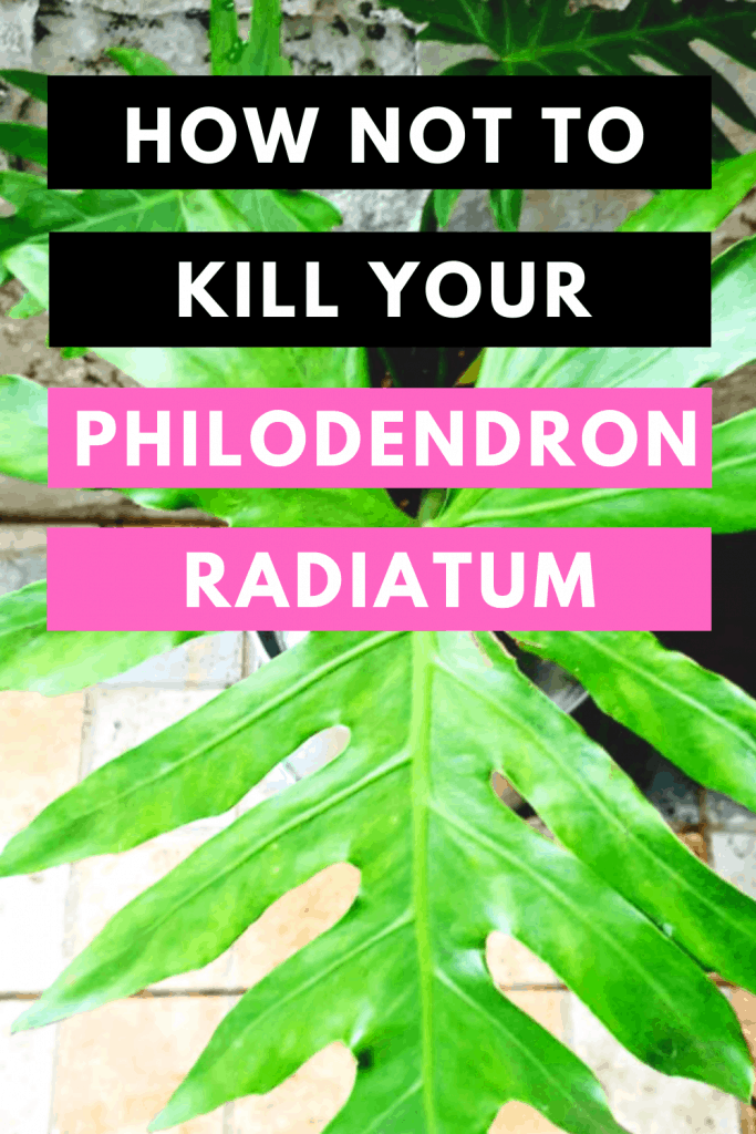 How Not To Kill your Philodendron Radiatum