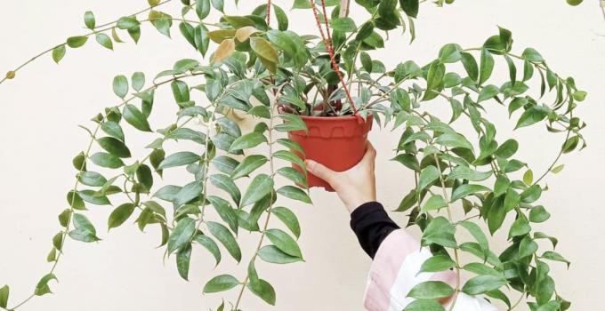 Hoya Odorata Care