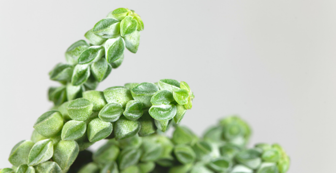 Peperomia Columella Care: Here's How You Get it Right