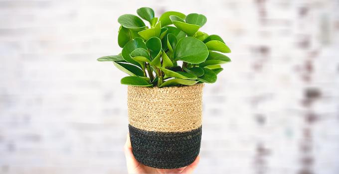 Peperomia Magnoliifolia Plant Care