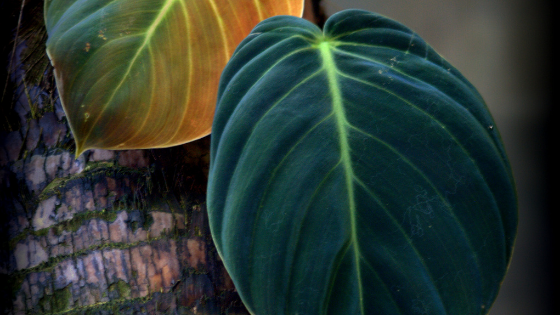 Philodendron Gigas Care – Everything You Need to Know