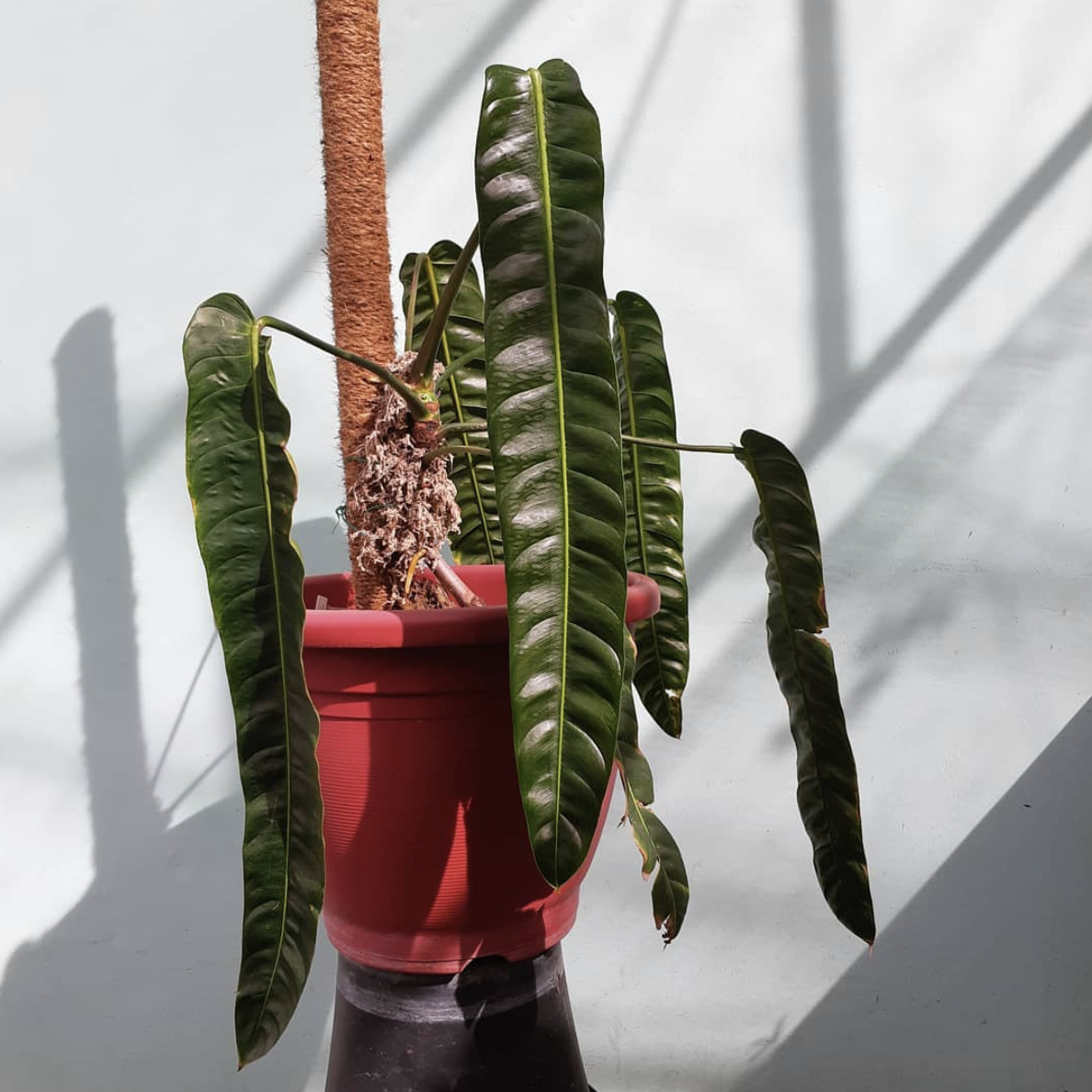 Philodendron Patriciae