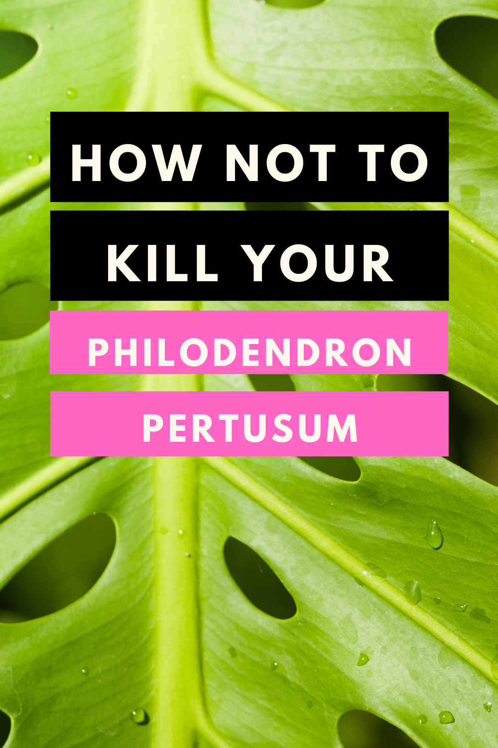 Philodendron Pertusum Care