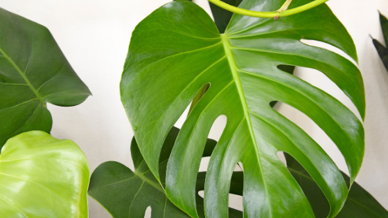 Philodendron Pertusum Care – You Need To Know This