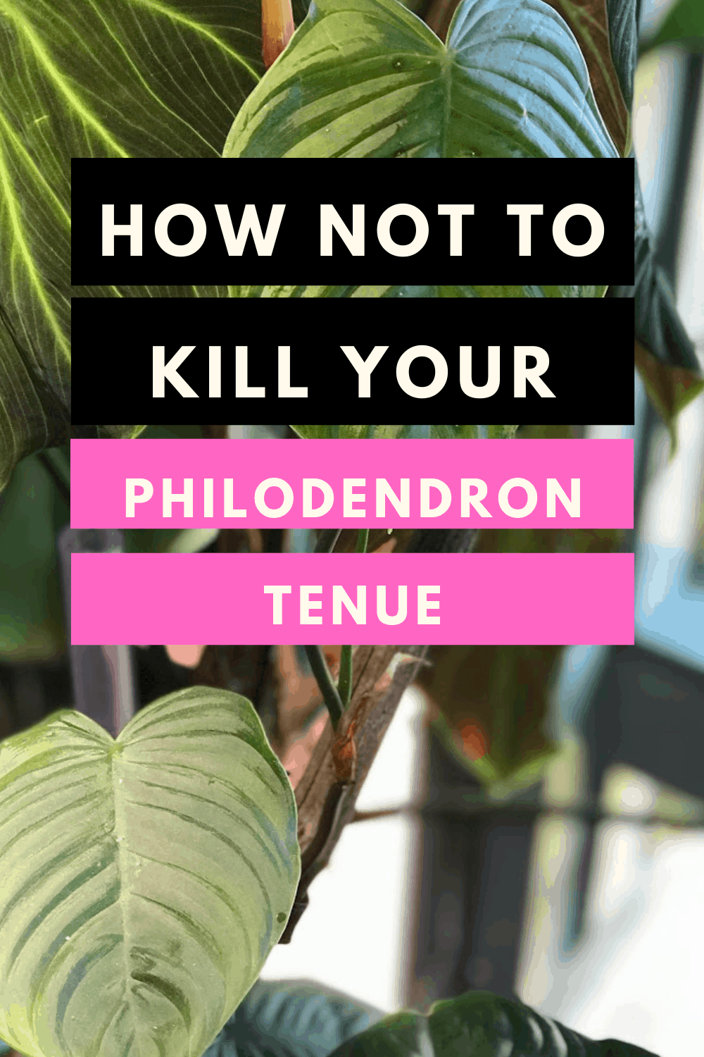Philodendron Tenue Care