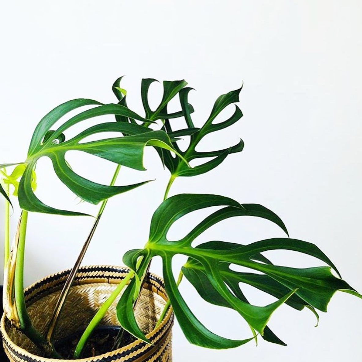 Monstera Dilacerata Care