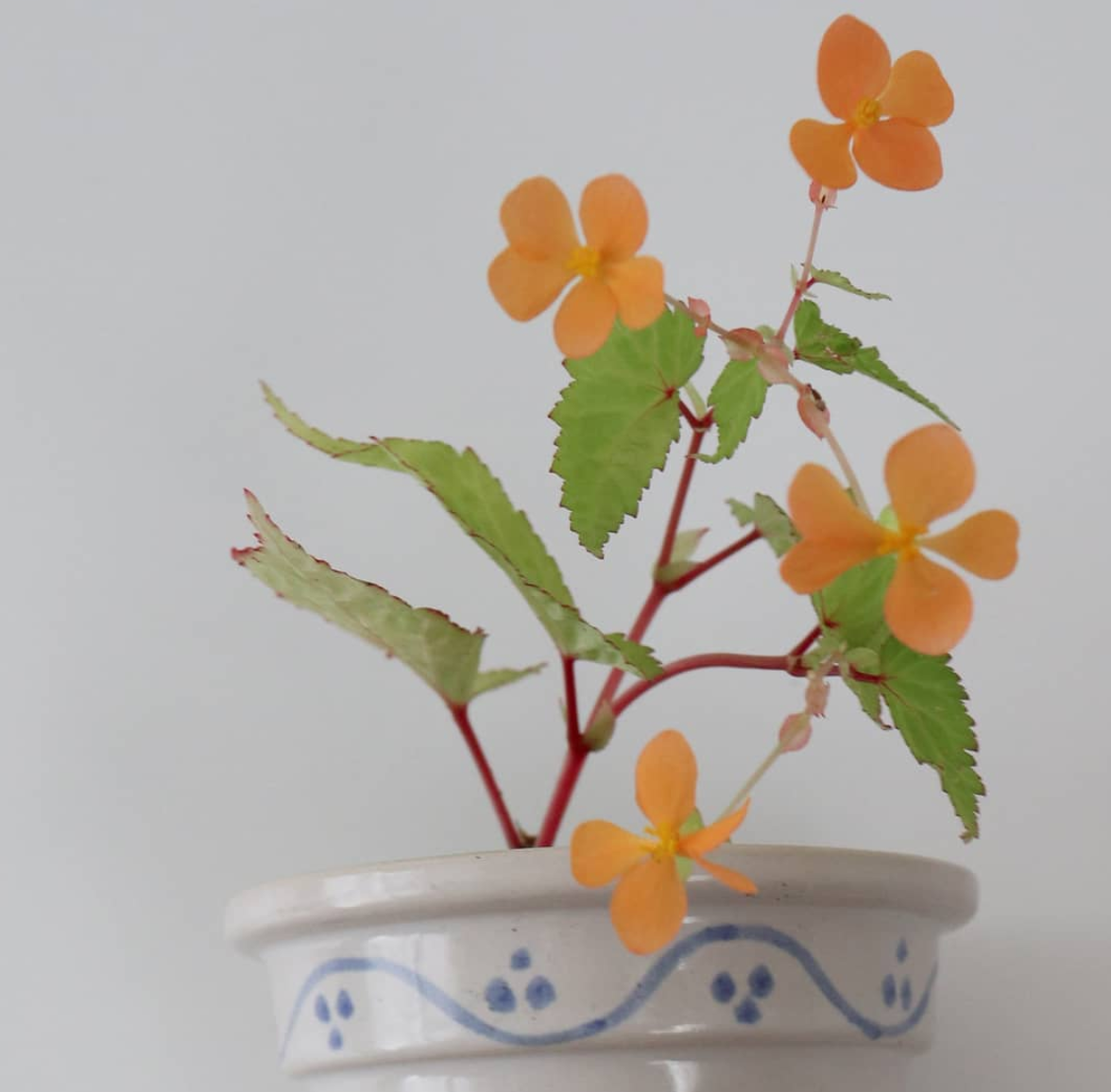 Begonia Sutherlandii Care Tips You Should Know About