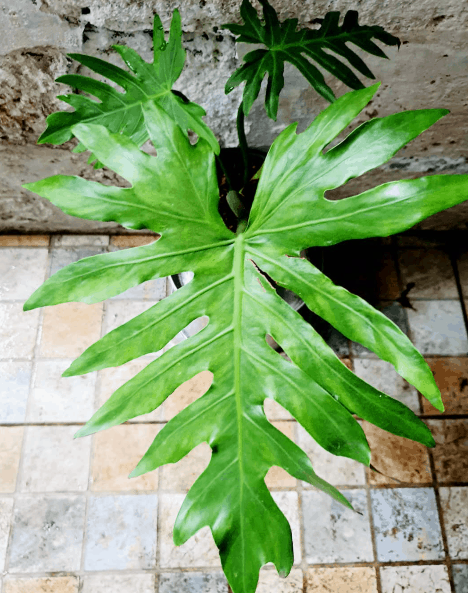 Philodendron Radiatum Care