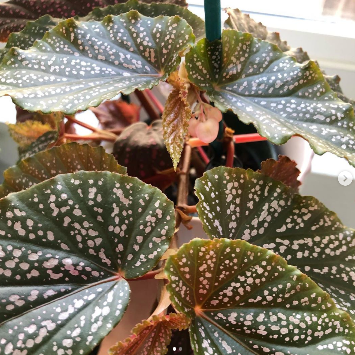 Begonia Benigo Care: Here's What You Need to Know