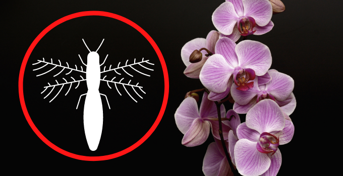 Orchid Thrip Control: Prevention and Debugging