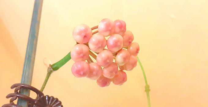 Hoya Rotundiflora Proven Care Tips