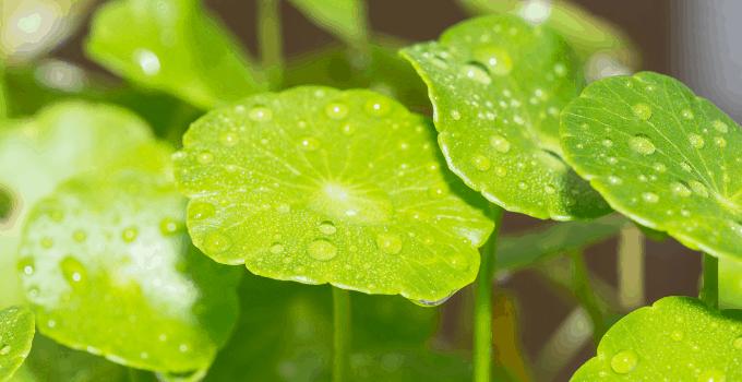 Green Centella Asiatica