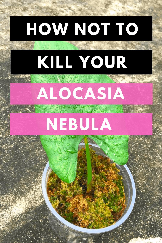 Alocasia Nebula Plant Care Hacks