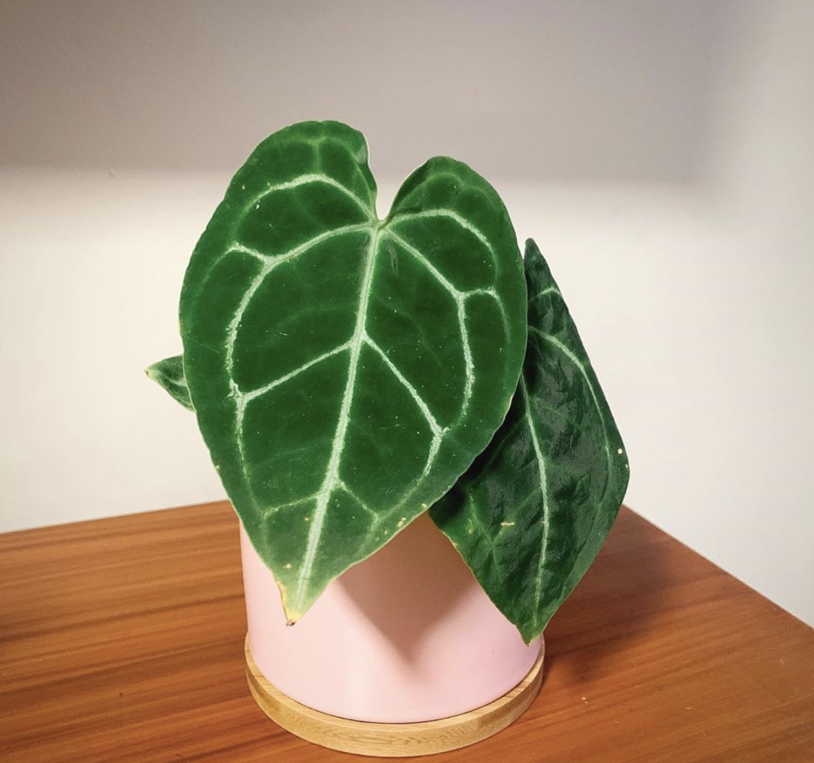 Anthurium Crystallinum Care Tricks