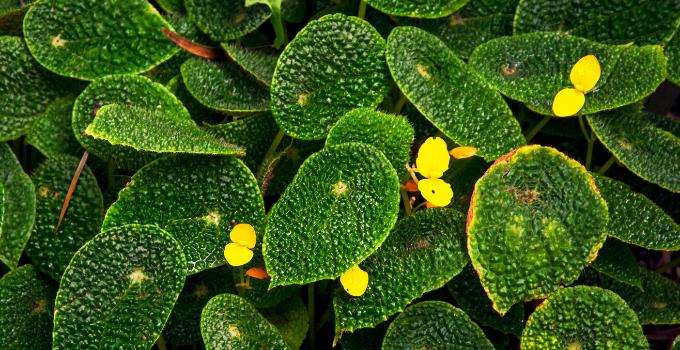 Begonia Microsperma Complete Care Guide