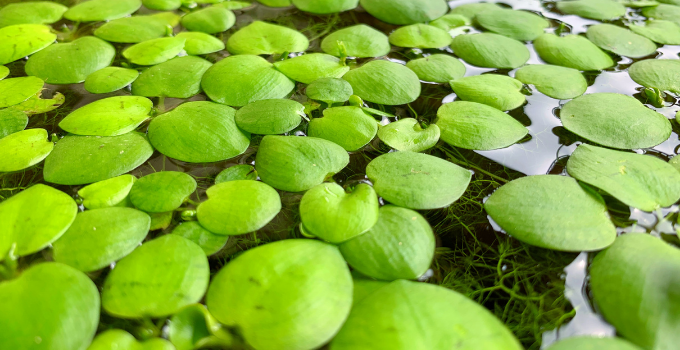 Best Floating Aquatic Plants