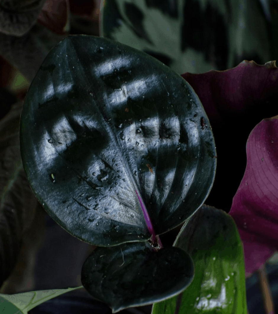 Geogenanthus Ciliatus Care in a Nutshell