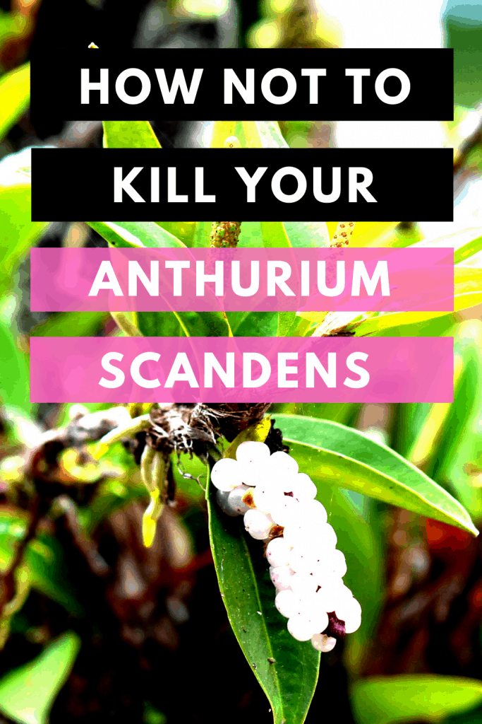 How Not To Kill Your Anthurium Scandens