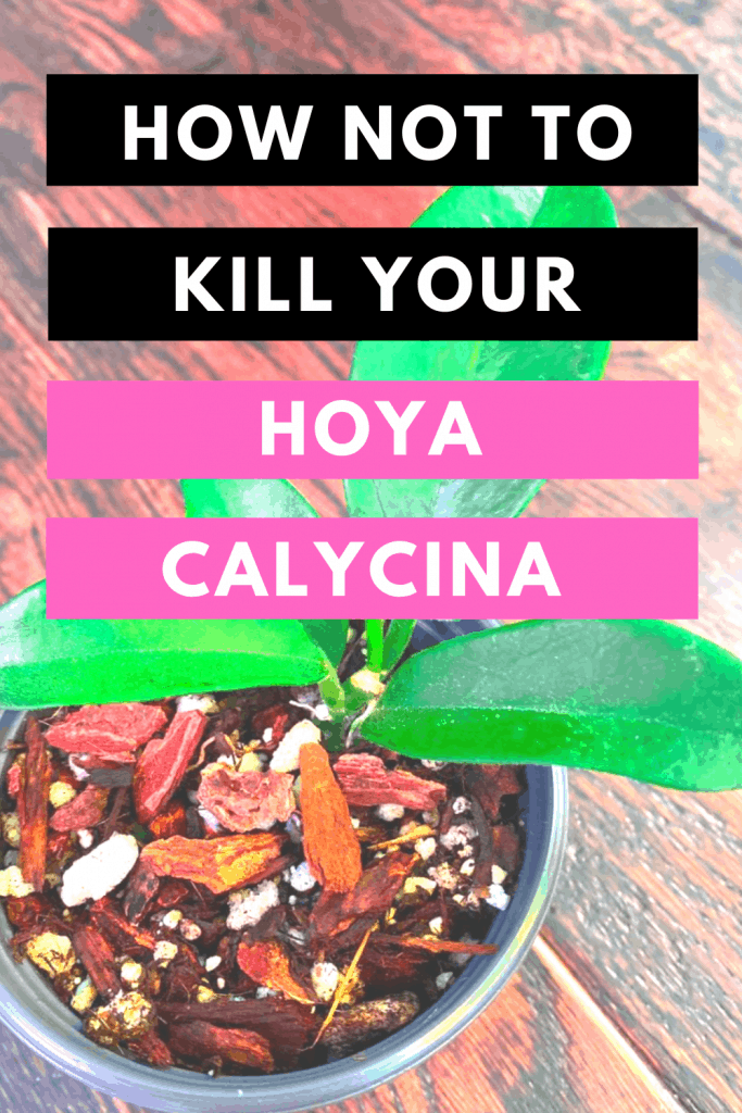 How Not To Kill Your Hoya Calycina